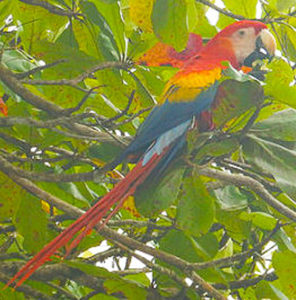 Photo I took of a scarlet macaw in Costa Rica.